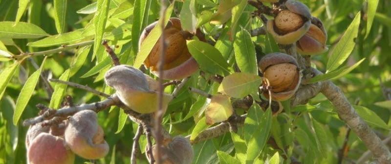 mallorca mandelblüte mandelbaum